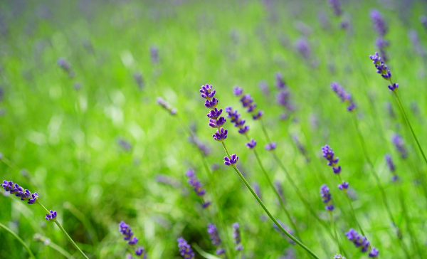lavender_meadow